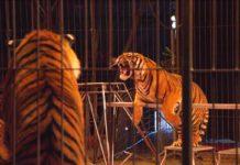 circo tigri